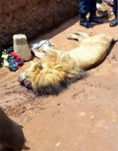 Starving lion mauls teenager to death in a zoo in Benin Republic (graphic photos)