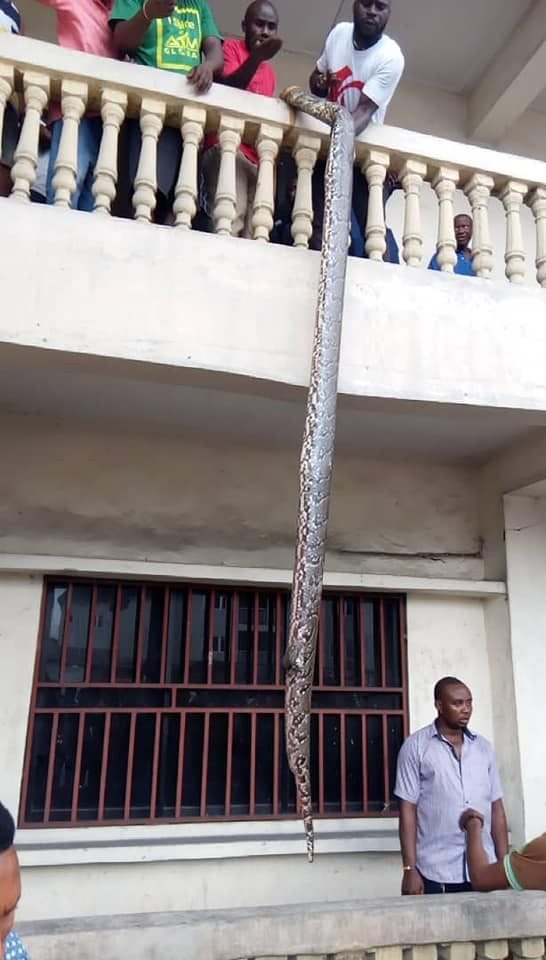 See the huge python killed in Rivers state today(photos)