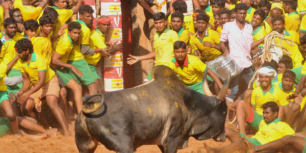 About-50-injured-on-1st-day-of-Indian-bull-wrestling-festival-lailasnews-2