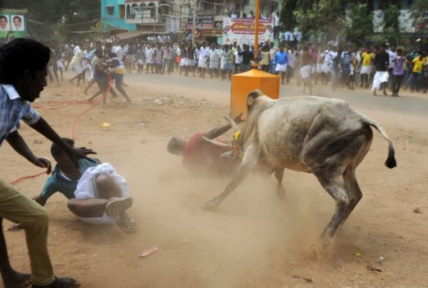 About-50-injured-on-1st-day-of-Indian-bull-wrestling-festival-lailasnews