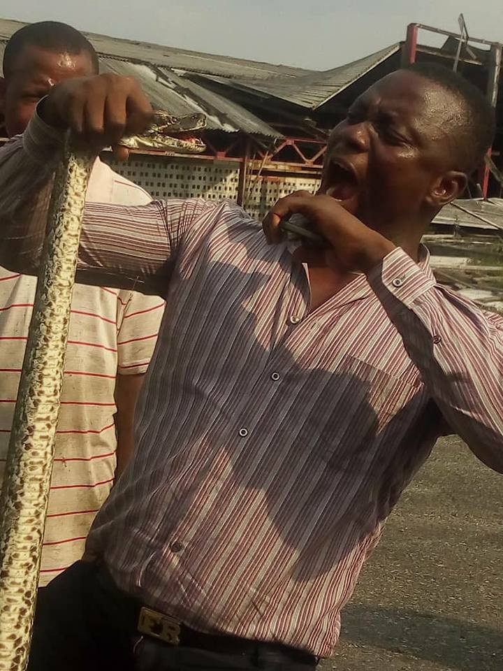 Residents jubilate as they kill 12-foot python terrorising them in Delta state