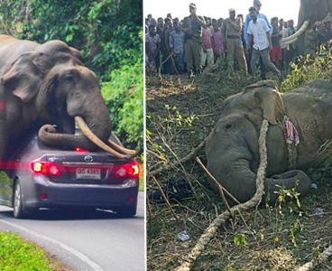 Elephant named after Osama bin Laden caught after killing 5 People (photos)