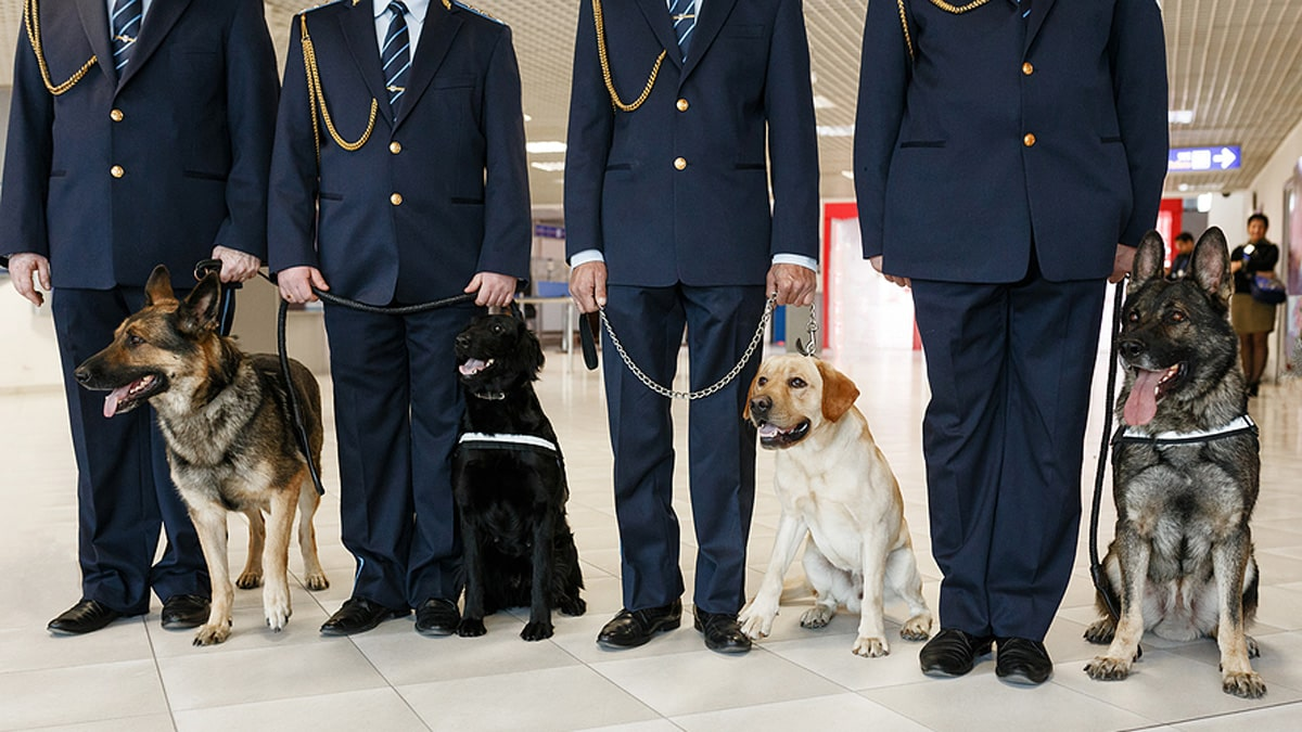 Sniffing dogs to detect COVID-19 at Dubai airport